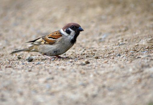 Retox: Važnost i ugroženost ptica u gradovima
